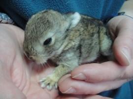 Cría de conejo recogida en GREFA.