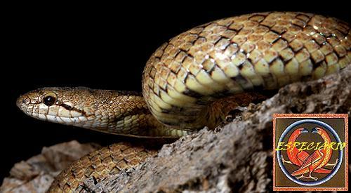 Culebra lisa meridional. (Foto José Damián Moreno Rodríguez).