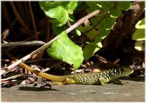 Juvenil de lagarto verdinegro.
