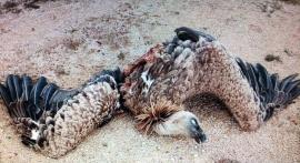 Restos encontrados de un buitre leonado en el parque eólico.