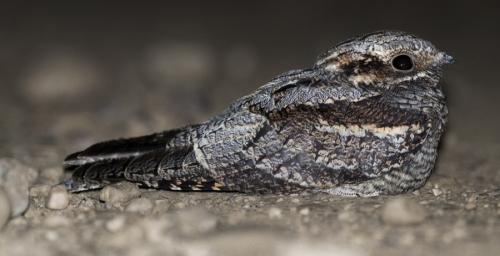 Chotacabras gris. (Foto: Javier Roces).