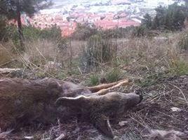 Un corzo abatido en febrero 2014 en el Monte Abantos.