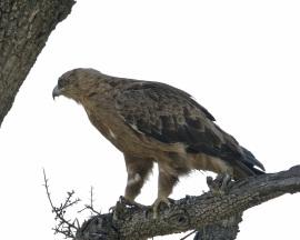 Águila calzada.