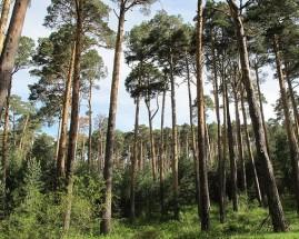 Bosque de Valsaín.