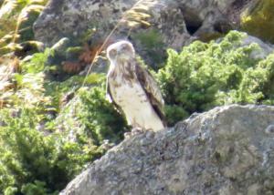 Águila culebrera liberada por el GREFA. (Foto: GREFA).