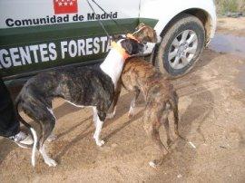 Galgos utilizados en la caza de liebres. (Foto: APAF).