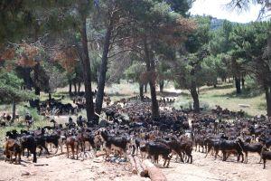 Rebaño de cabras del Guadarrama.