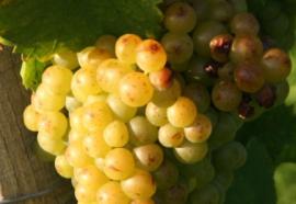 Racimos de uvas.