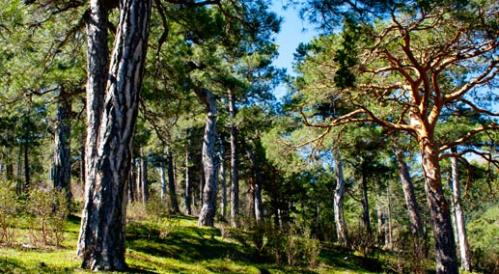Pinos Plateados del Valle de la Hilera, La Jarosa. (Foto: Ayto. Guadarrama).