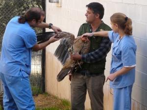 Veterinarios y rehabilitadores examinan a un ejemplar joven de águila  imperial que ingresó en el hospital de fauna de GREFA. (Foto: GREFA).