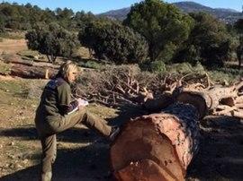Agente Forestal comprobando la tala ilegal.