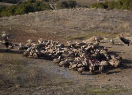 Grupo de buitres leonados alimentándose.