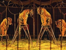 Espactáculo con tigres en un circo.
