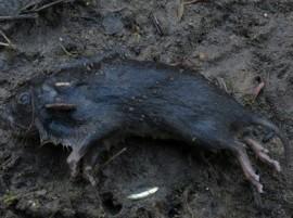Topillo de cabrera. (Foto: Ecologistas en Acción).