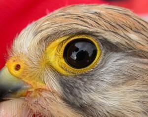 Hembra de cernícalo primilla, especie que ha servido para realizar la inviestigación. (Foto: MNCN).