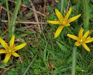 Las flores de Gagea son más pequeñas, pero destacan por su fuerte color amarillo.© Jesús Dorda. Blog El Ventorrillo.Gajea