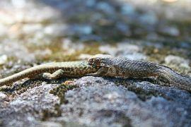 Culebra bastarda juvenil engullendo una lagartija ibérica.
