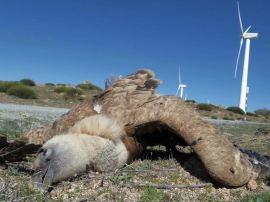 Cadáver del buitre leonado. (Foto: Colectivo Azálvaro).