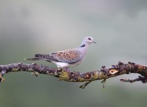 Tórtola europea. (Foto: SEO/Birdlife).