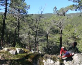 Bosque de pinos laricios. (Foto: Felipe Colorado).