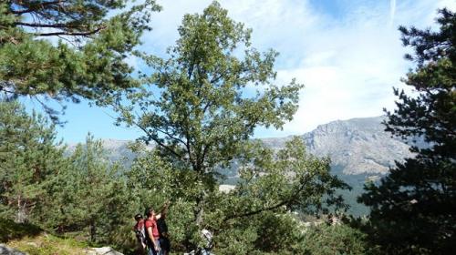 Quercus x welwitschi i' a 1500 metros de altitud en el Lomo, Pedriza Posterior. (Foto: Reforesta).
