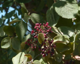Viburnum lantana fructifi cando en  la Cañada del Molino ,  en Villavi eja de Lozoya. (Foto: Reforesta).