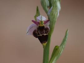 Orquídea del género Ophrys. (Foto: Tenada del Monte).