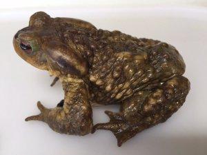 Sapo común con un dispositivo implantado bajo su piel para registrar su temperatura corporal. (Foto: SOS Anfibios Guadarrama).