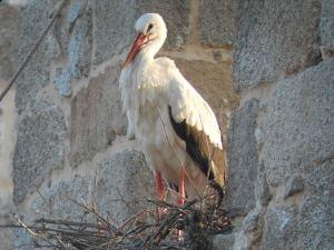 Una de las cigüeñas de la población de Colmenar Viejo. (Foto: Anapri).