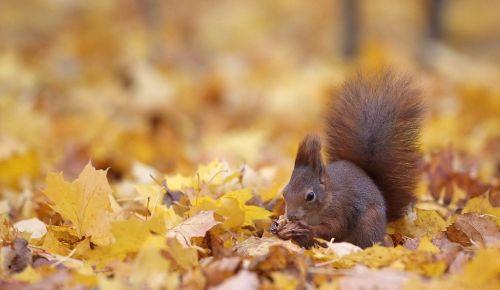 Ardilla roja, la acróbata del bosque.