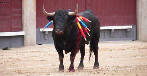 Toro abanderillado durante una corrida.