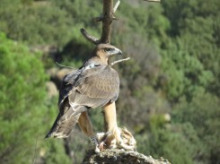 Águila de Bonelli con la antena de su emisor visible. (Foto: GREFA).
