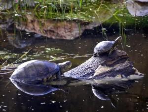 Dos ejemplares de galápago europeo. (Foto: GREFA).