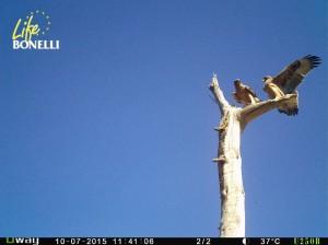 Los dos últimos ejemplares de águila de Bonelli soltados por GREFA. (Foto: GREFA).