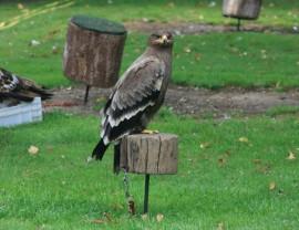 'Urbión', el águila esteparia perdida. (Foto: Safari Madrid).