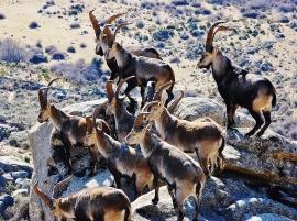 Manada de cabras montesas.