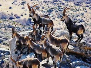 Cabras monteses. (Foto: D.A. de Lucas).