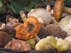 La salida micológica mostrará la importancia de los hongos en los ecosistemas.