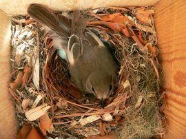 Hembra de papamoscas cerrojillo en su nido. (Foto: Axel Strauß).