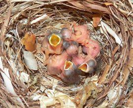Pollos de papamoscas cerrojillo. (Foto: Axel Strauß).