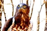 Águila culebrera. (Foto: D.A. de Lucas).