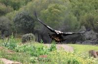 Águila imperial. (Foto: D.A. de Lucas).