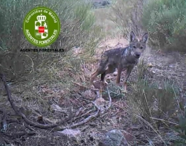 Lobato captado en la Comunidad de Madrid. (Foto: Agentes Forestales de la Comunidad de Madrid).).