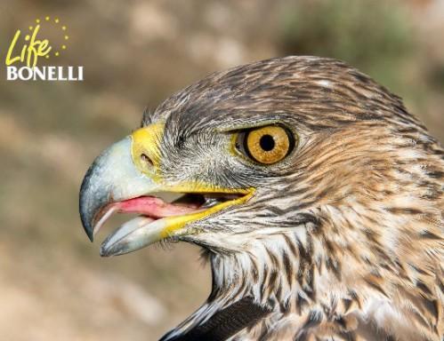 Detalle de la cabeza de 'Señora', una hembra silvestre de águila perdicera o de Bonelli.