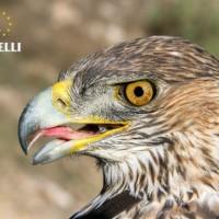 Un centenar de apoyos eléctricos son corregidos en una zona sensible para el águila de Bonelli