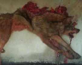 Lobo aparecido muerto en Somosierra. Foto: Sierra Norte Digital.