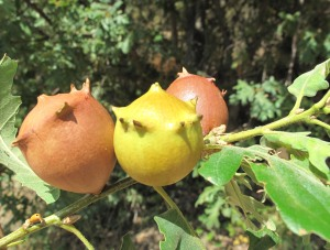 """Agallón en corona o """"bogallo"""" del roble melojo inducido por el cinípido Andricus quercustozae."""