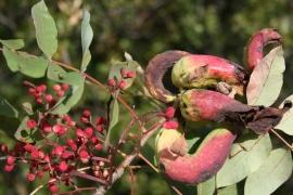 Agallas en la cornicabra inducidas por el pulgón Baizongia pistaciae.