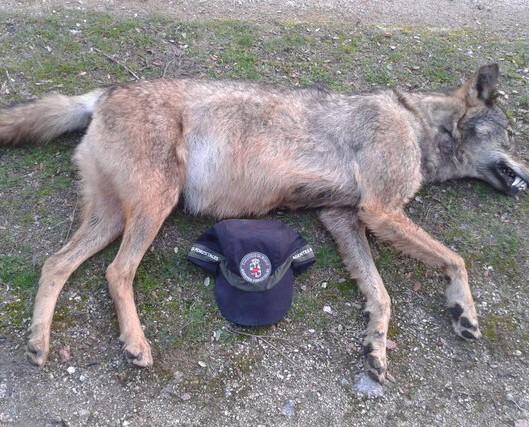 Loba encontrada muerta por los Agentes Forestales. (Foto: Agentes Forestales de la Comunidad de Madrid).