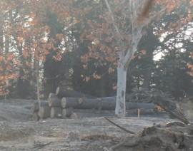 Conjunto de árboles ya talados en Pozuelo.